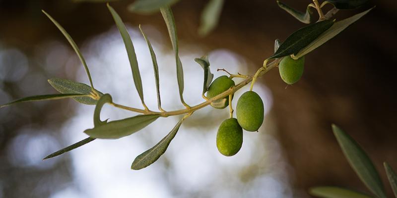 Olive delle colline teramane